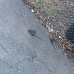 Rodent Sighting at 60 Lawrence Ave, Dorchester