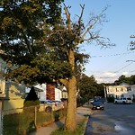 Tree Pruning at 136 Mount Hope St, Roslindale