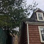 Tree Pruning at 59 Auriga St, Dorchester