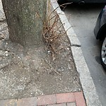 Tree Pruning at 94 W Newton St, Roxbury