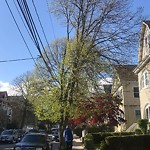 Tree Pruning at 35 Alicia Rd, Dorchester