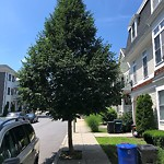 Tree Pruning at 26 30 Dorr St, Roxbury